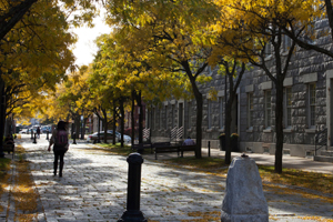 Photo of campus int he fall - a grey cobblestone street lined with yellow trees and a student walking with a backpack
